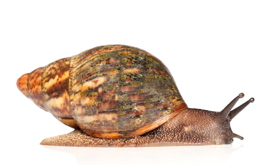 The hoopla about Nigerian snails